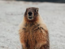 Did you know about… Charlotte the Marmot!