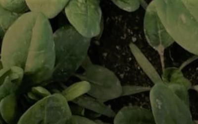 What is a Bleu-Blanc -cœur vegetable ?
